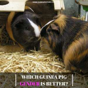 Which Guinea Pig Gender Is Better_