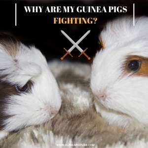 Why Are My Guinea Pigs Fighting