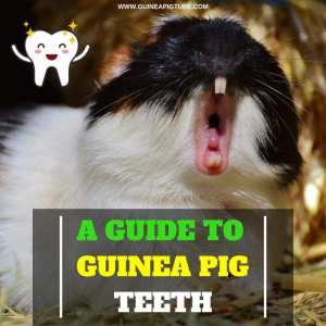 A Guide to Guinea Pig Teeth Everything You Need to Know About Guinea Pig Dental Care