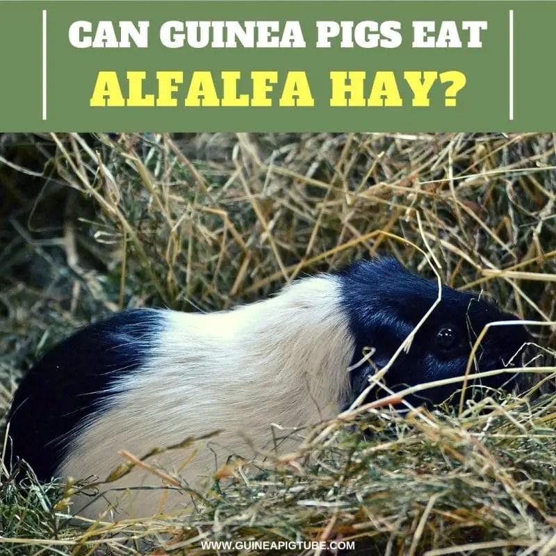 Can Guinea Pigs Eat Alfalfa Hay