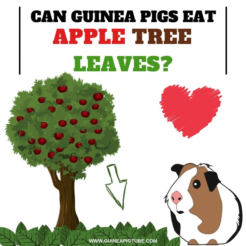Can Guinea Pigs Eat Apple Tree Leaves