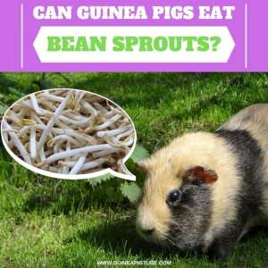 Can Guinea Pigs Eat Bean Sprouts
