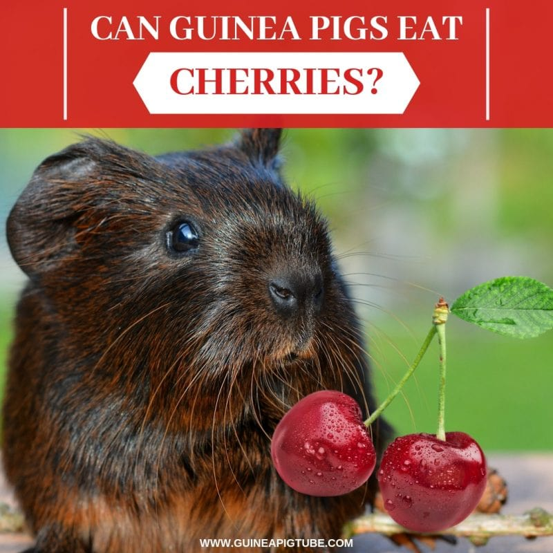 Can Guinea Pigs Eat Cherries