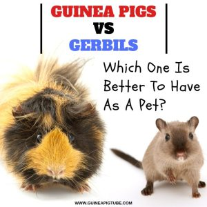 Guinea Pigs Vs. Gerbils Which One Is Better To Have As A Pet