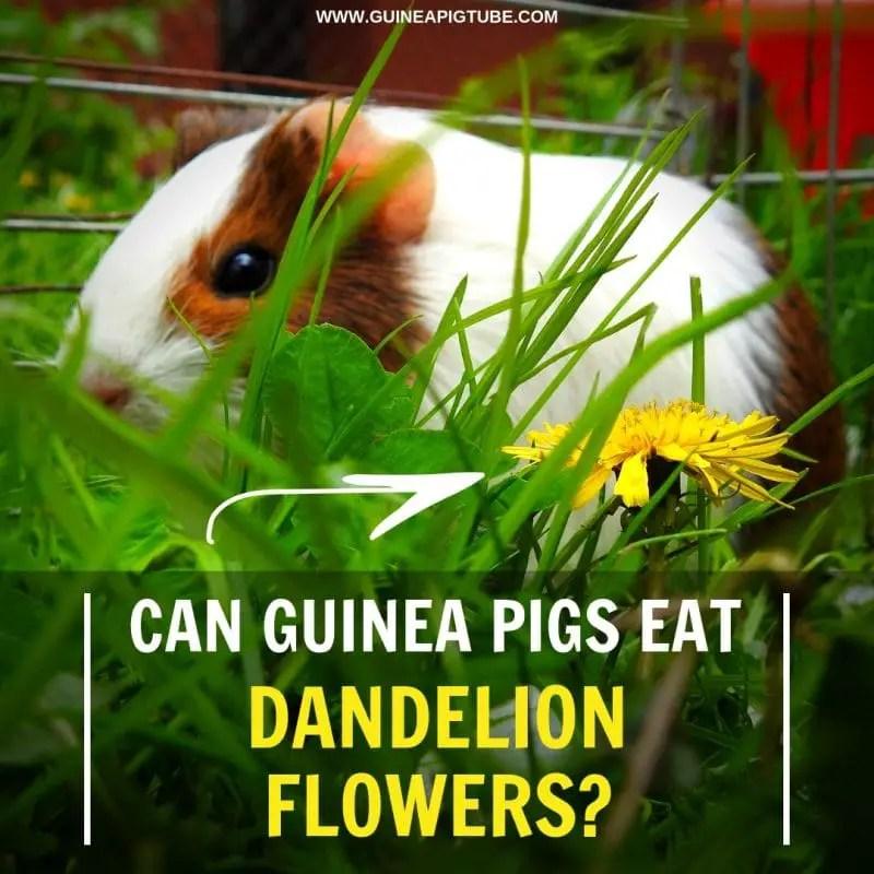 Can Guinea Pigs Eat Dandelion Flowers