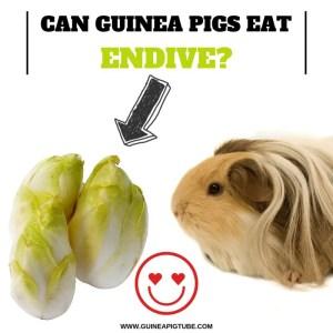 Can Guinea Pigs Eat Endive