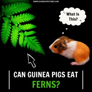 Can Guinea Pigs Eat Ferns
