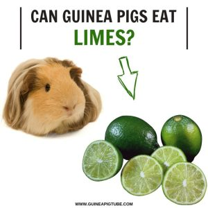 Can Guinea Pigs Eat Limes