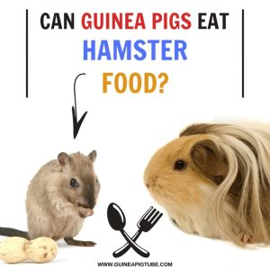 Can Guinea Pigs Eat Hamster Food