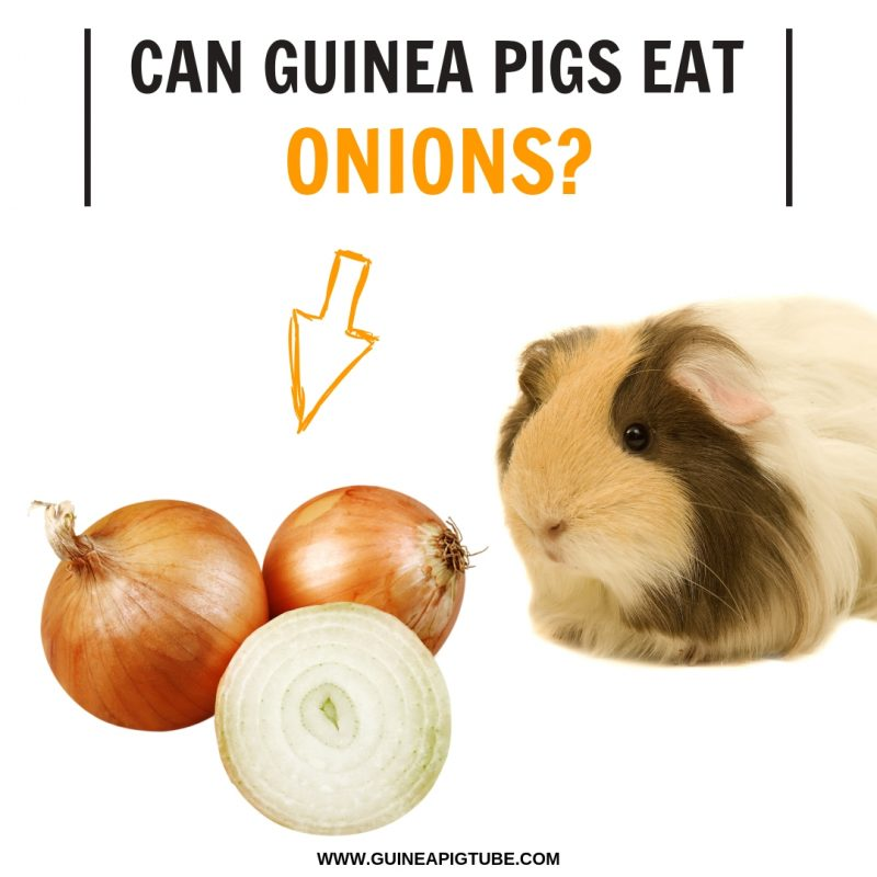 Can Guinea Pigs Eat Onions?