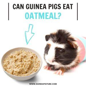 Can Guinea Pigs Eat Oatmeal