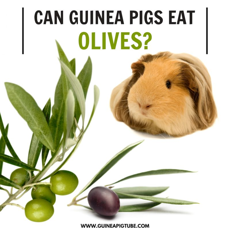 Can Guinea Pigs Eat Olives