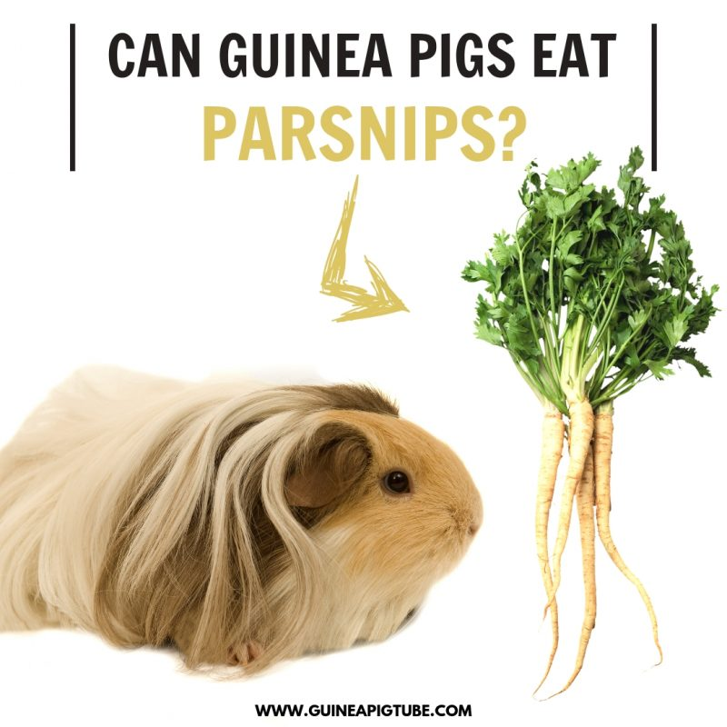 Can Guinea Pigs Eat Parsnips