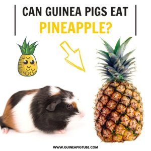 Can Guinea Pigs Eat Pineapple