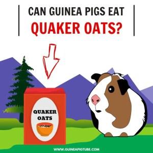 Can Guinea Pigs Eat Quaker Oats