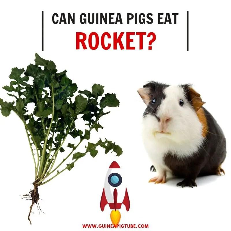 Can Guinea Pigs Eat Rocket