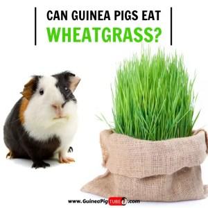 Can Guinea Pigs Eat Wheatgrass