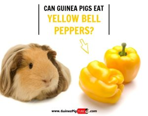Can Guinea Pigs Eat Yellow Bell Peppers (Benefits, Risks, Serving Size & More)
