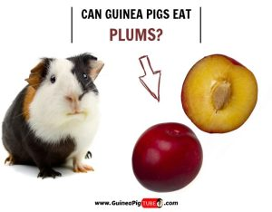 Can Guinea Pigs Eat Plums (Benefits, Risks, Serving Size & More)..