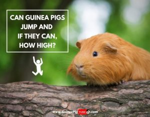 Can Guinea Pigs Jump and If They Can, How High