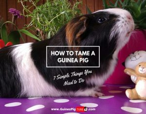 How to Tame a Guinea Pig – 7 Simple Things You Need to Do