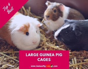 Top 4 Best Large Guinea Pig Cages to Buy in 2019