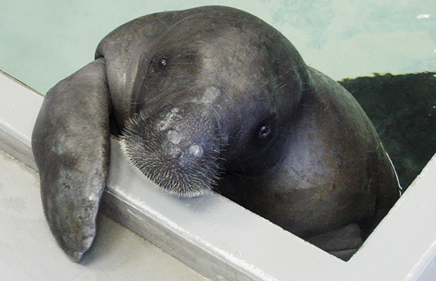 Happy 67th birthday to Snooty  the worlds oldest living