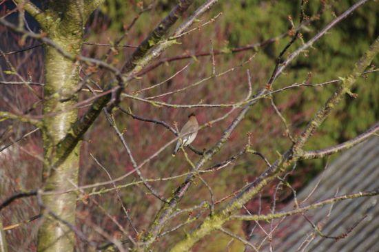 Fuglen Silkehale