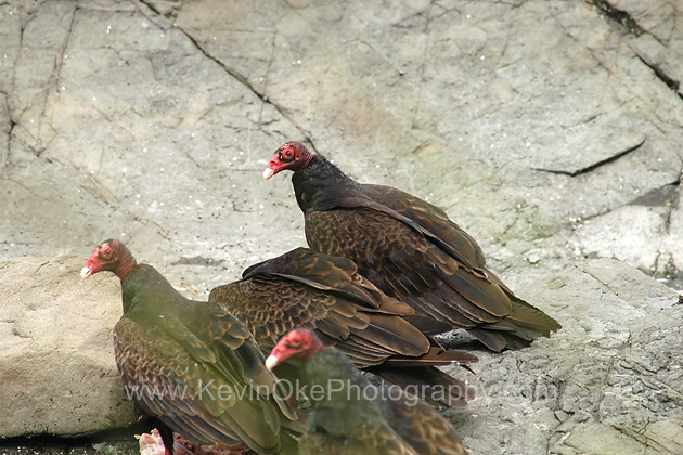 Turkey Vultures (Cathartes aura) on the rocks near North Pender Island, Gulf Islands, British Columbia, CanadaTurkey Vulture, Gulf Islands, British Columbia, Canada