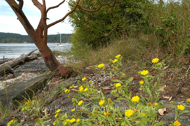 Flowers and an Arbutus tree on Russell Island, Gulf Islands National Park Reserve of Canada, Southern Gulf Islands, British Columbia, Canada.
