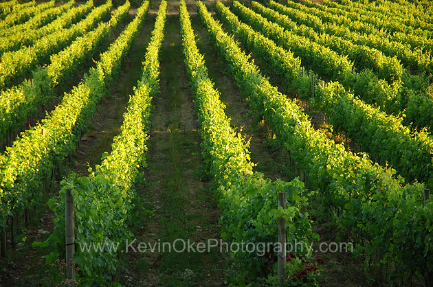 Grape vines at the Saturna Island Family Vineyard, Saturna Island, British Columbia