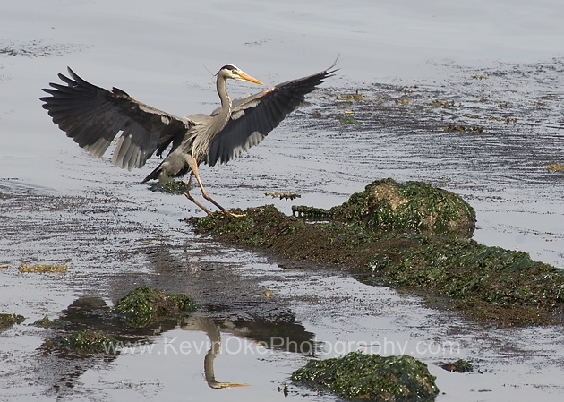 Great Blue Heron landing (Ardea herodias), Gulf Islands, British Columbia, CanadaGreat Blue Heron, Gulf Islands, British Columbia, Canada