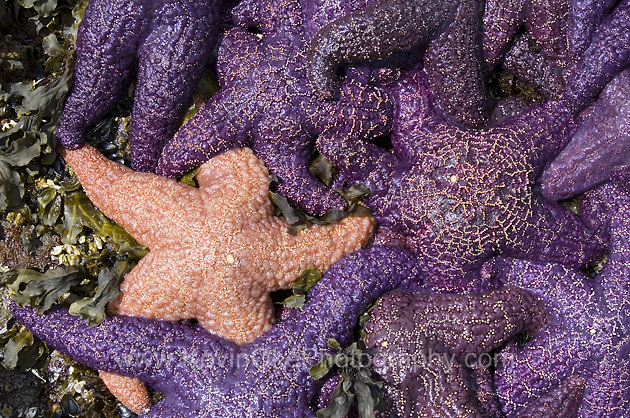 Sea Stars at the Malaspina Galleries, Gabriola Island, BC