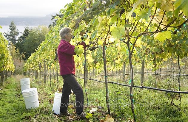 Harvesting grapes at Morning Bay Vineyard & Estate Winery. North Pender Island, British Columbia, Canada.Harvesting at Morning Bay Vineyard & Estate Winery, North Pender Island