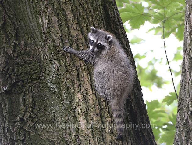 Raccoon on Portland Island, Gulf Islands National Park Reserve of Canada, Southern Gulf Islands, British Columbia, Canada.