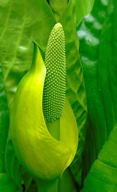 Skunk Cabbage, Mount Maxwell Provincial Park, Salt Spring Island, British Columbia