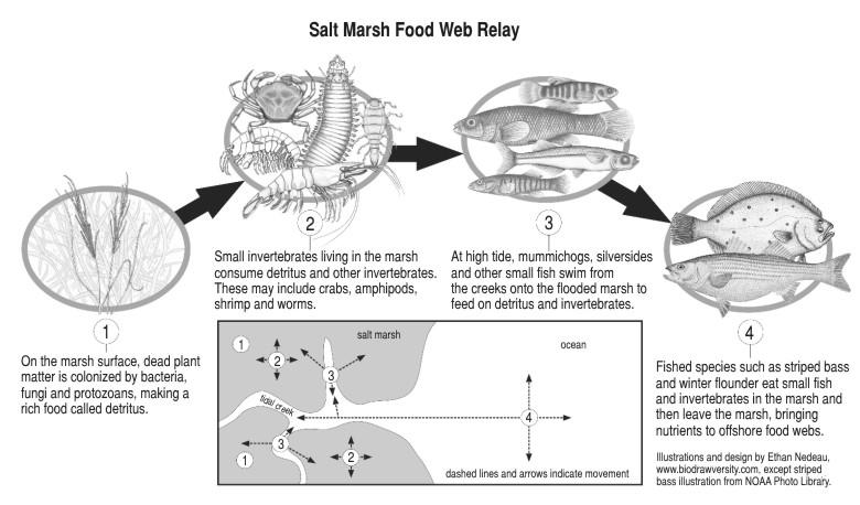Science Insights: Do salt marshes serve as fish nurseries?