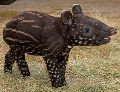 Tapirs are Terrific