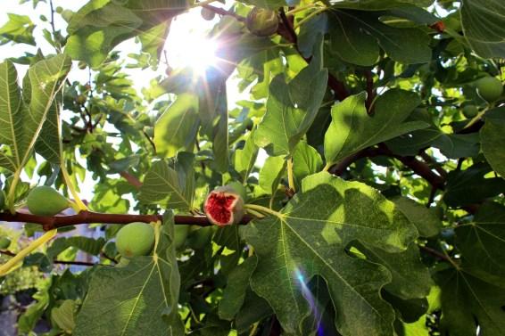 Figs in Villa Gumonca garden