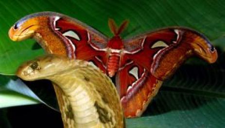 kelebek-ve-kobra