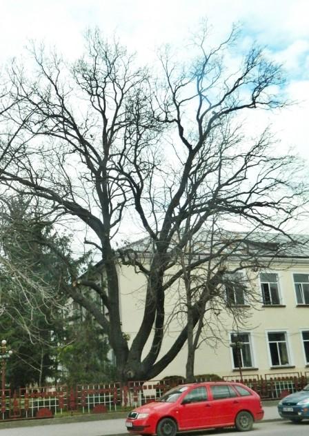 Secular.Oak.tree.jpg
