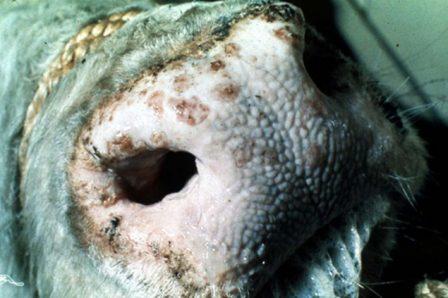 Dermatoza-nodulara