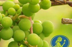 Online Eğitim: Oenotrian Wine School WSET 2. Seviye Şarap Eğitimi