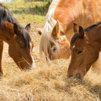 Hábitos alimenticios del caballo
