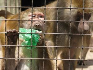 Papion con botella plastica en zoo de Buenos Aires