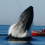 Treuer Wal steht Freund bei und demonstriert seine Freude