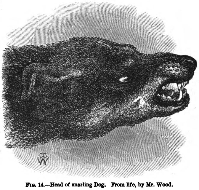 Head of Snarling Dog. Fig 14