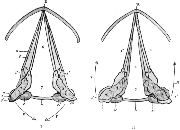 Fig. 7 A-A', Ring Cartilage. B, Shield Cartilage. 1, Pyramid Cartilage. 2, Vocal Process, With 2', Its Position After Contraction of Muscle. 3, Postero-External Base of Pyramid, Giving attachment to Abductor and Adductor Muscles at Rest, With 3', Its New Position After Contraction of the Muscles. 4, Centre of Movement of the Pyramid Cartilage. 5, the Vocal Cords at Rest. 5', their New Position After Contraction of the Abductor and Adductor Muscles, Respectively Seen in I and II. 6, the interligamentous, With 7, the intercartilaginous Chink of the Glottis. 8, the Arrow indicating Respectively in I and II the Action of the Abductor and Adductor in Opening and Closing the Glottis.