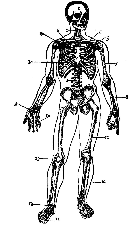 Human skeleton outline