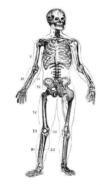 Drawing of humaan skeleton